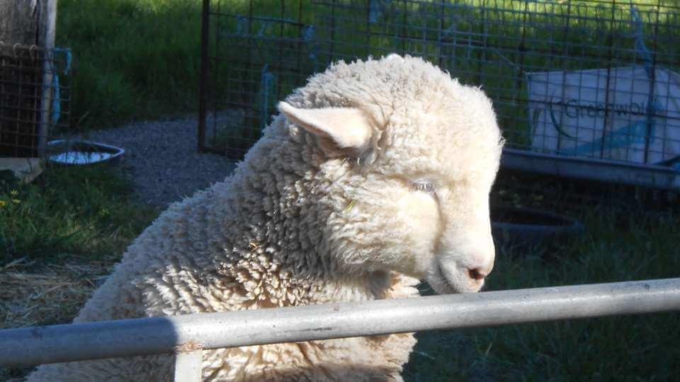 Benny - Tinakori Animal Farm Clunes