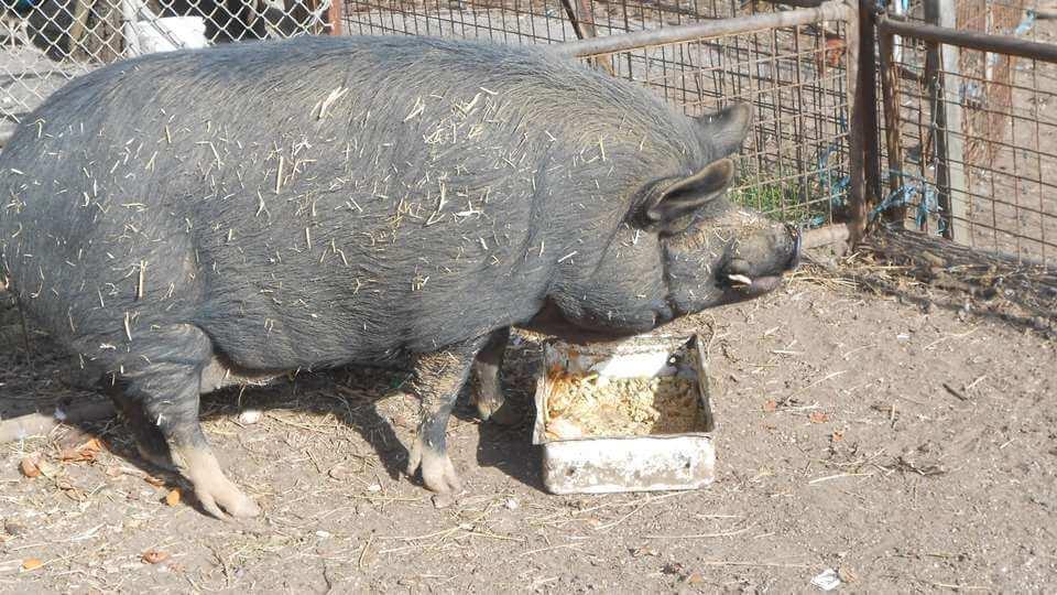 Pablo the Pig - Tinakori Animal Farm Clunes